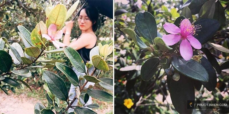 Vườn Sim Phú Quốc