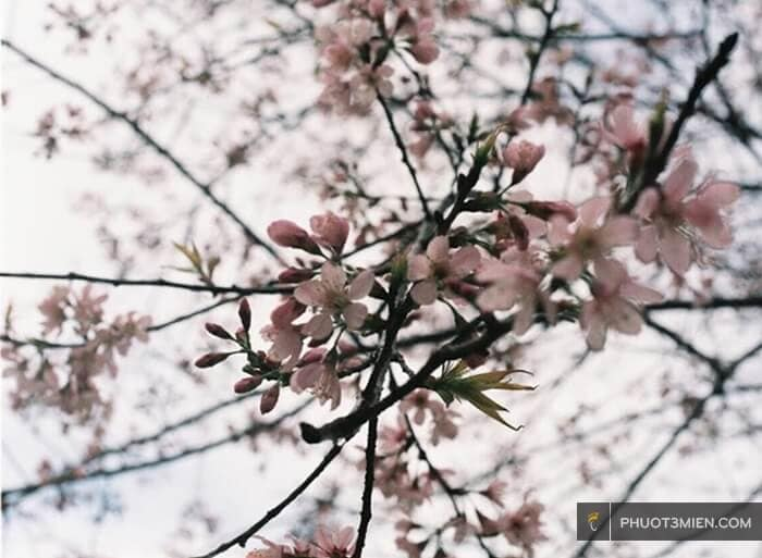 hoa đào ở măng đen