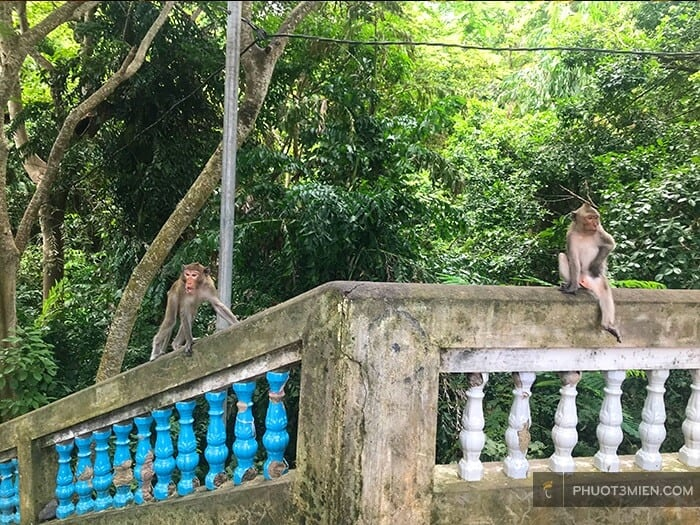 Đàm khỉ vô cùng hung dữ