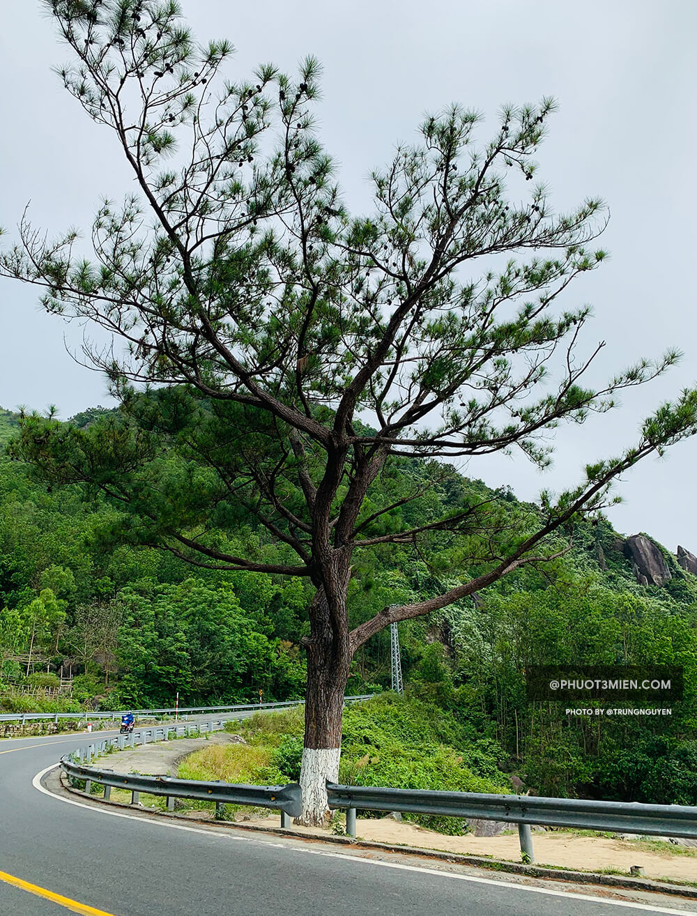 cây thông Cô Đơn trên đèo hải vân